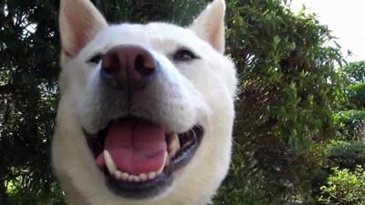 愛嬌のある紀州犬