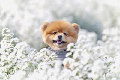 白い花の間から顔を出すポメラニアン