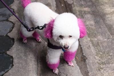 ピンクに染められたプードル