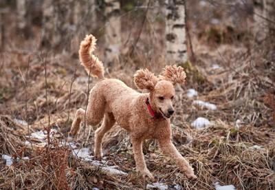 狩猟犬 プードル