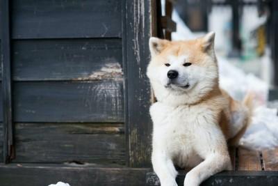 何かを真剣に見つめる秋田犬