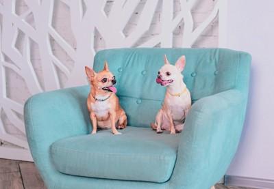 青い椅子の上にいる2匹のチワワ