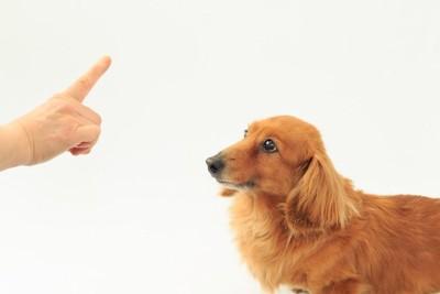 指示を出す人の手と見つめるダックスフンド