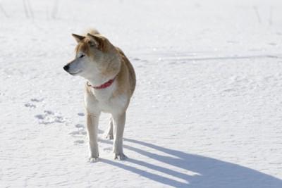 雪の上を歩く柴犬