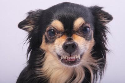 歯を剥きだすチワワ