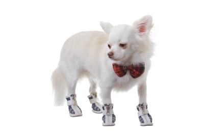 靴を履いている白いチワワ