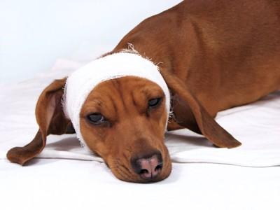 元気のない頭に包帯を巻いた犬