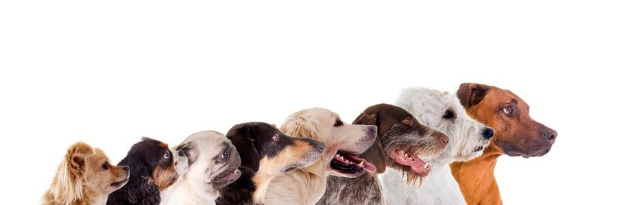 たくさんの犬の横顔