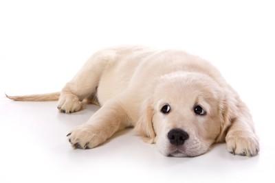 床に伏せて目を逸らす子犬