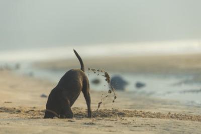 浜辺で穴を掘る犬