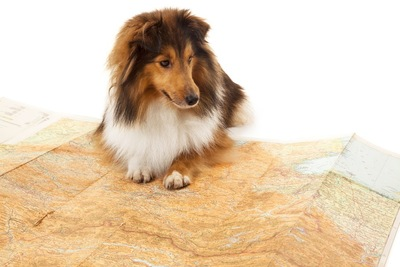 地図を見る犬