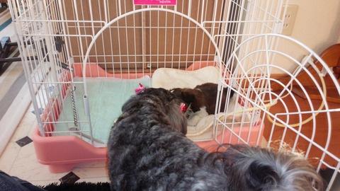 ケージの中を覗き込む先住犬