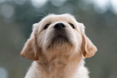 子犬の顔アップ