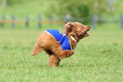 青い服を着て芝生を走るトイプードル