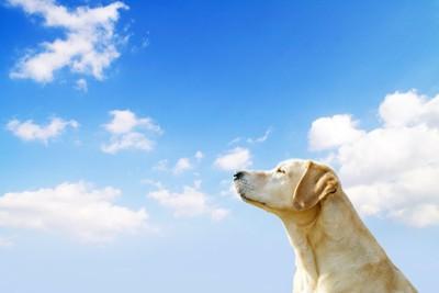 青空を見上げるレトリバー