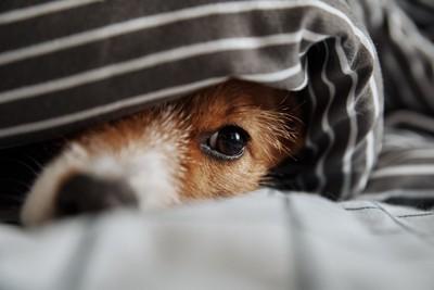 ブランケットの中で悲しそうにしている犬