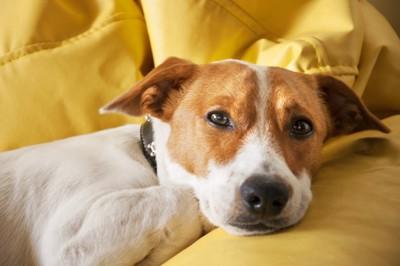 眠そうに見つめる犬、イエロー系のソファー