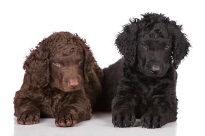 カーリーコーテッドレトリーバーの子犬