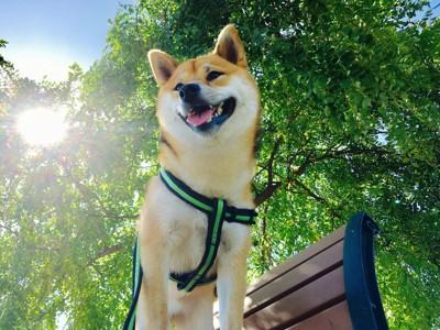 ベンチに立つ柴犬