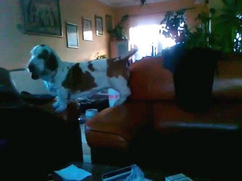 前足を黒のソファーに乗せる犬