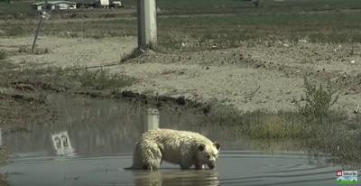 泥水を飲む犬