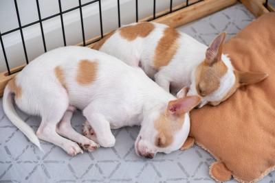 ハウスの中で眠る2頭の子犬