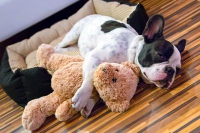 ぬいぐるみを抱っこして眠るブルドッグ