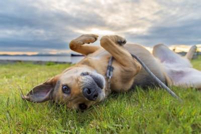 芝生で転がる犬