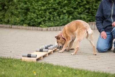 臭気選別の訓練中の犬