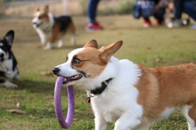 紫のおもちゃで遊ぶコーギー
