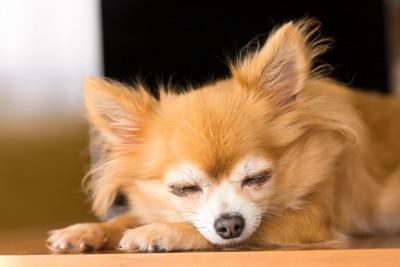 眠っている茶色のチワワ