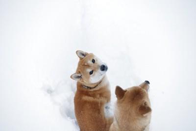 雪の中をお散歩中の柴犬