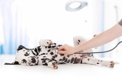 聴診器を当てられる犬
