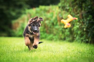 走っているジャーマンシェパードドッグの子犬 119730921