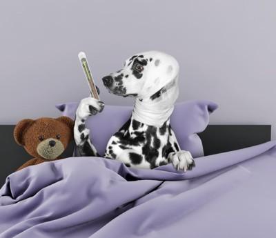 ベッドの中で体温計を持っているダルメシアン