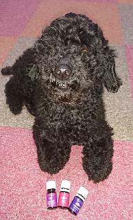 黒い犬がアロマ精油の前にいる写真