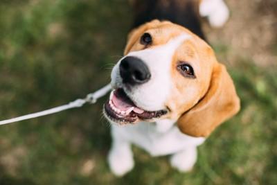 散歩中に笑顔で見上げるビーグル犬
