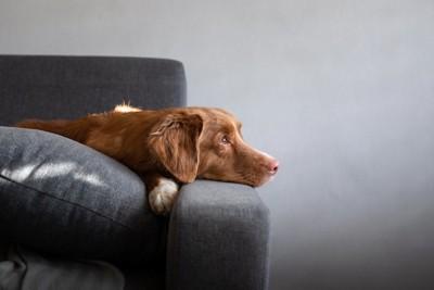 ソファーの上で遠くを見つめる犬