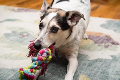ロープおもちゃで遊ぶ犬