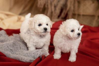 毛布と2匹のビションフリーゼの幼犬