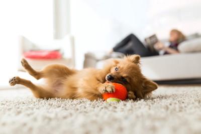 カーペットの上で寝転がりボールで遊んでいる犬
