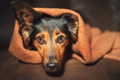 ブランケットにくるまれた犬