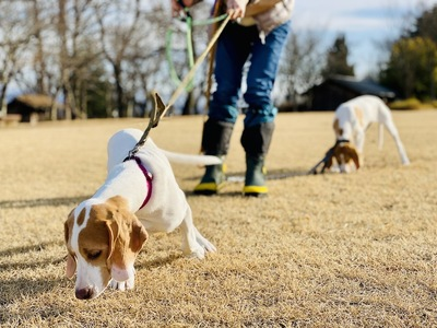 リードを引っ張って歩く犬
