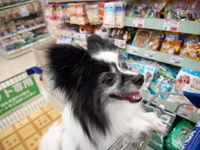 買い物中のパピヨン