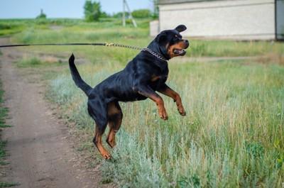 散歩中に尻尾を立てて立ち上がる犬