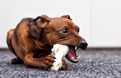 大きな白いガムを必死で食べている犬