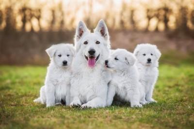 芝生に座る子犬と母犬