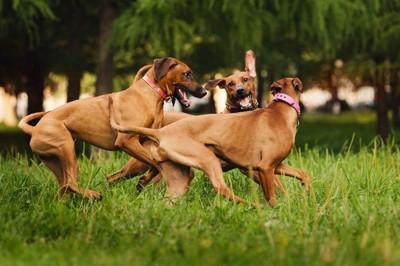 走って遊ぶ3匹のローデシアンリッジバック