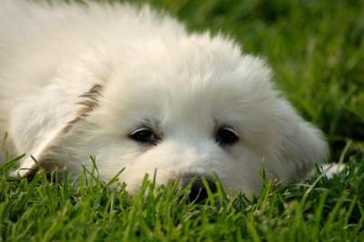 草原で伏せているグレートピレニーズの顔