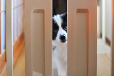 隙間から覗いている白黒の子犬